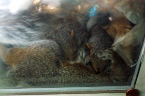 8/22/09 - Sleeping and nursing (32 days old) ©2011 The Squirrel In Our Window—used with permission.