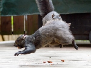 Hoversquirrel attack!