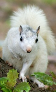 White squirrel looking cute (chest clasp!) in Brevard, N.C. &copy;John Woestendiek ohmidog.com. Used with permission.