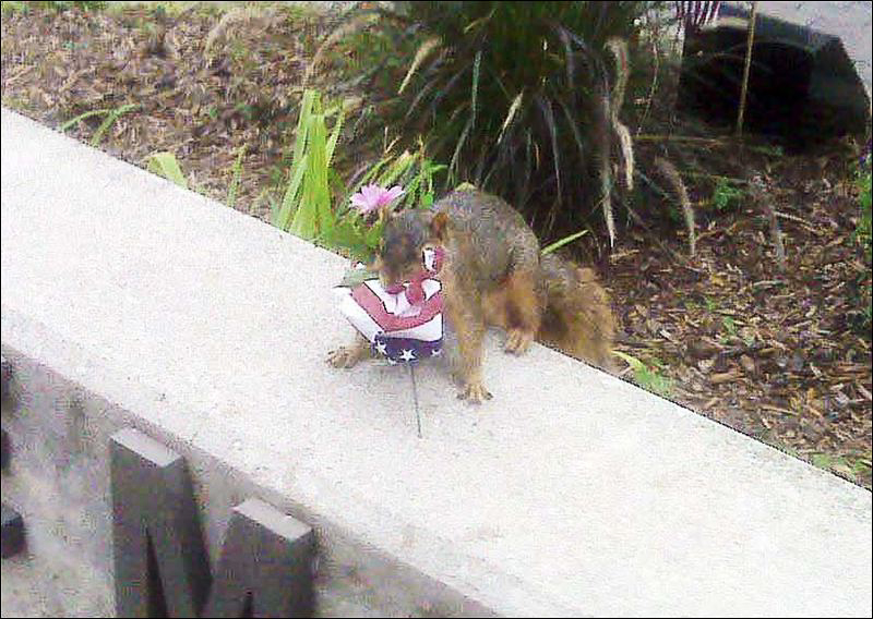 A fox squirrel caught in the act of stealing a miniature american flag. ©Toledo police Lt. James Brown.