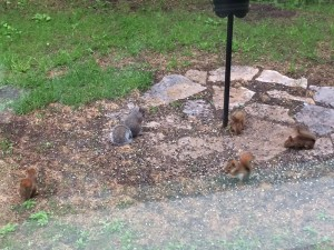 Baby squirrels, one Grey and 4 Red, eating sunflower seeds under the bird feeder.