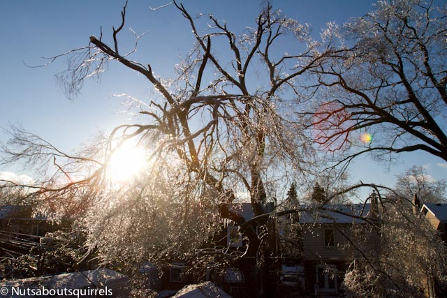 The shit tree on the day after the ice storm.